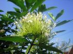 Andani- Bunga Soka Putih