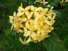 Asoka Kuning