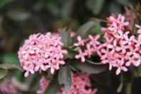 Asoka Pink