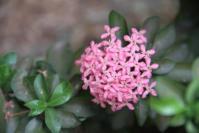 Bunga Soka Pink
