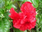 Kembang Sepatu Merah Dobel
