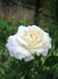 Rose - White
