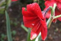 Bakung Merah (Hypeastrum atau Amarylis merah 1