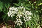 Bunga Girang-Girang (Elderly Flowers)