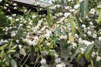 Bunga Kopi