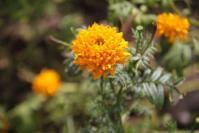 Bunga Marigold (Mitir)