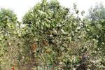 Jeruk di Ladang
