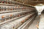 Kandang AyamPetelur