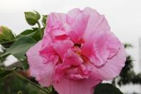 hibiscus (Waru Liar)