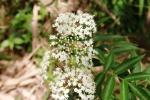 Kembang Girang - Elderflower