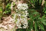 Kembang Girang - Elderflower1