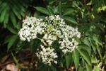 Kembang Girang - Elderflower2