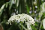 Kembang Girang - Elderflower4