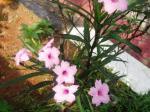 Pink Ruellia1
