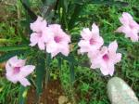 Pink Ruellia3