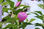 Purple Hibiscus 1