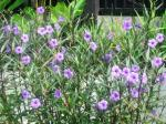 Purple Ruellia