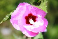 PurpleHibiscus 6