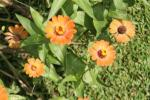 Zinnia Orange 5