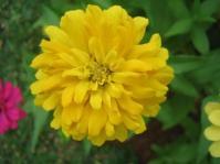 Zinnia Yellow