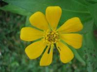 Zinnia Yellow1