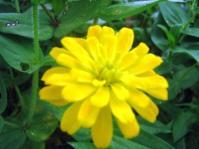 Zinnia Yellow4