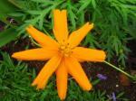 Andani-Orange Cosmos1