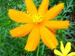 Andani-Orange Cosmos9