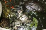 Andani- Red Eared Terrapin2