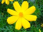 Andani - Yellow Cosmos2