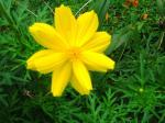 Andani - Yellow Cosmos3