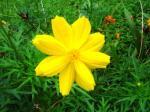 Andani - Yellow Cosmos5