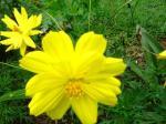 Andani - Yellow Double Cosmos1