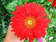 Bright Red Gerbera-Andani