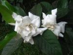 Bunga Kacapiring