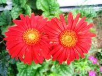 Gerbera Red - Andani