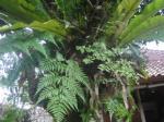 Kadaka di pohon rambutan