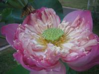Pink Lotus1