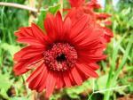 Red Gerbera-Andani