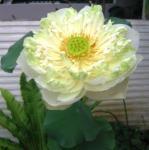 White Lotus compressed
