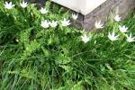 Andani- Lily Hujan Putih1