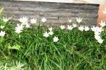 Andani- Lily Hujan Putih2