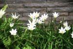 Andani- Lily Hujan Putih3