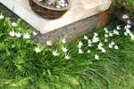Andani- Lily Hujan Putih