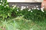 Andani- Lily Hujan Putih4
