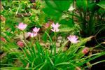 Andani- Pink Zepyranthes6