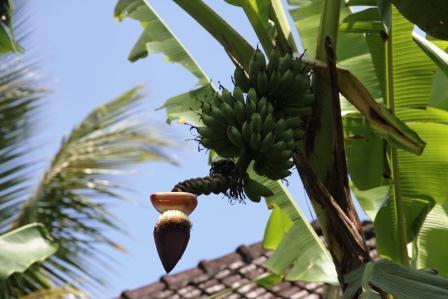 Kisah pohon pisang dan keserakahan