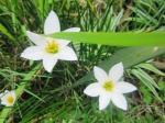 White Zepyranthes