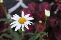 Andani -Daisy7