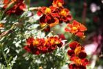 Andani- French Marigolds